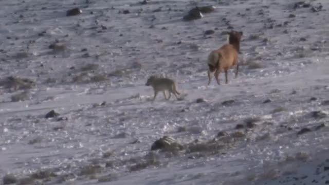 رقابت تک به تک گرگ با گوزن شمالی ماده