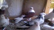 کبوتر های ماده من