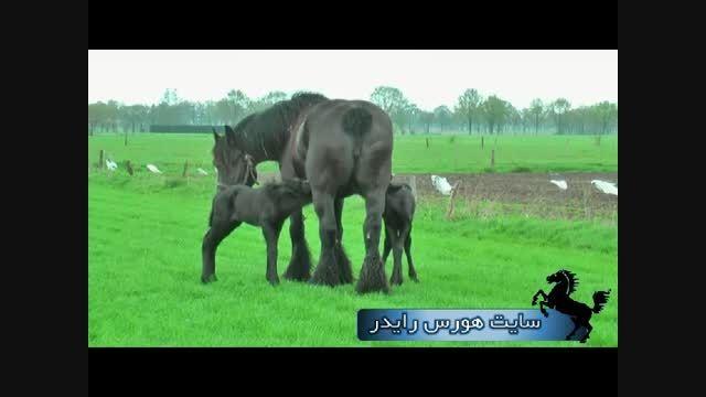 اسب های غول پیکر بلژیکی (خیلی جالب هستن)