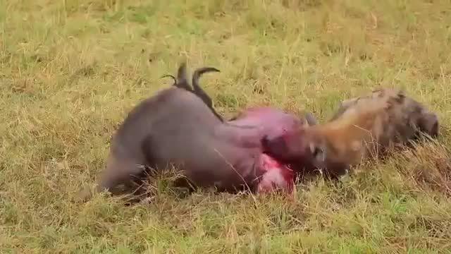 کلیپ حیات وحش - زنده زنده خوردن شکار - هیجانی ترین کلیپ