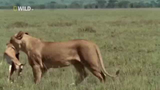 دیدن این مستند حیات وحش افریقا از دست ندهید