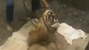 کشتن شتر توسط شیر (حادثه ای در باغ وحش)