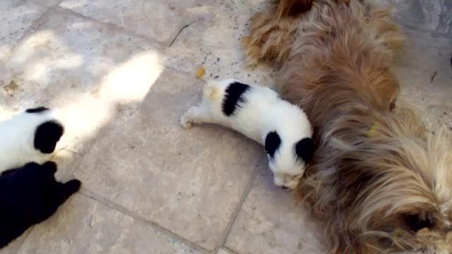 توله سگ های پرورشی آپارتمانی