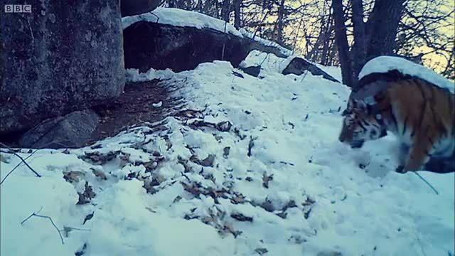 ببر سیبری ، موهبتی برای سایر جانوران در زمستان سیبری