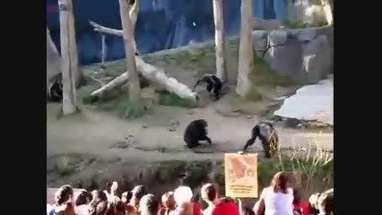 گلچین صفاسا: نبرد شمپانزه+کلیپ جالب درگیری دعوا باغ وحش