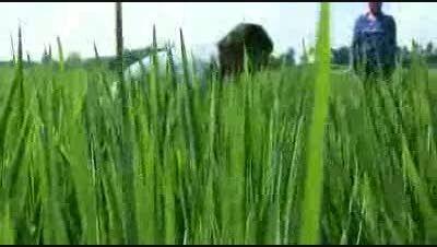 مجید ارگانیک کشت برنج به روش(1)  SIR