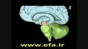 دستگاه عصبی قسمت 4
