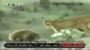 جنگ خرس و شیر کوهی- شیر و گاو- ببر و تمساح- گرگ و پلنگ و....