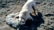 كشتن گرگ خاكستری توسط سگ كانگال