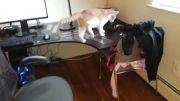 چسبیدن نوار چسب به پاهای گربه بدبخت.....
