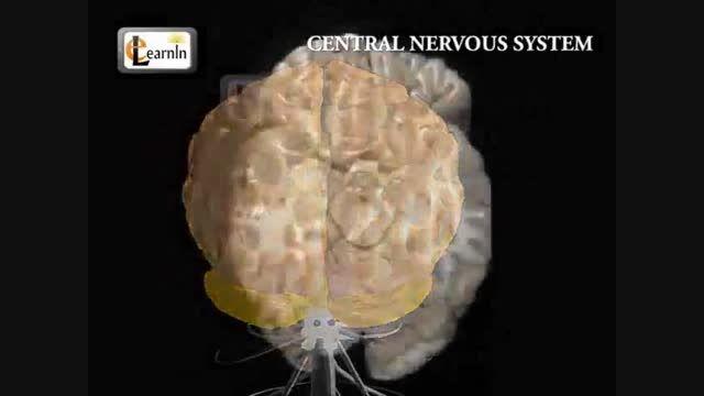 سیستم عصبی مرکزی