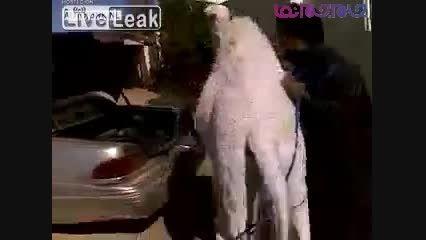 عرب وحشی حتما نگاه کنین