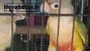 انواع پرندگان زینتی در قفس