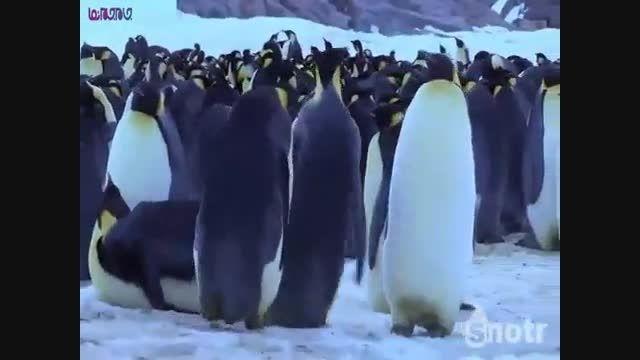 زندگی پنگوئن ها بسیار خنده دار حتما ببینید