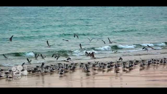 مرغ های دریایی جزیره ناز