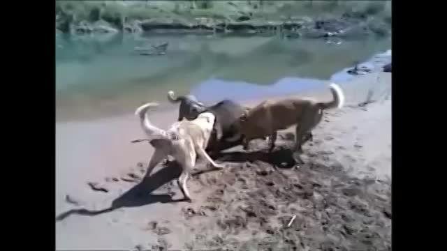شكار گراز با سگ كانگال