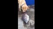 ویدئویی دیدنی از تلاش یک سگ برای نجات ماهی ها