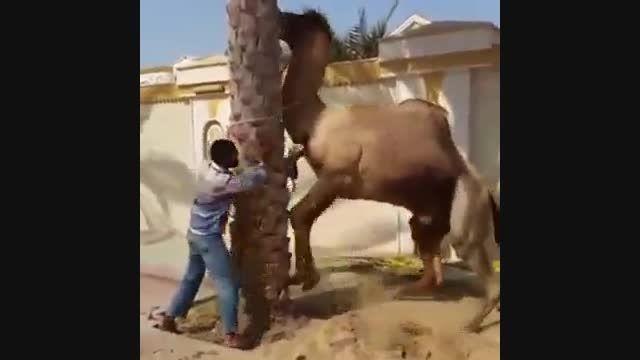 ذبح شتر وگاز گرفتن شتر خخخخخخخخخخخخ