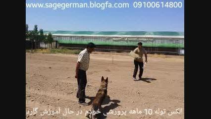 حمله خطرناک سگ آموزش دیده