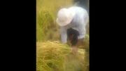 برداشت برنج در استان کردستان