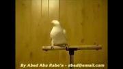 رقص عربی طوطی(خیلی جالبه حتما ببینید خخخخ)