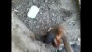 جنگ مرغ لاری با خروس لاری