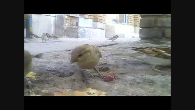 دونه خوردن پرنده ها از نزدیک(خیلی جالبه حتما ببینید)