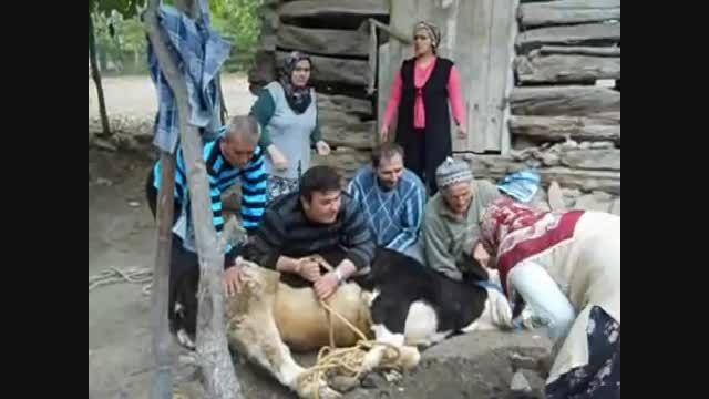 همکاری خانواده در ذبح قربانی در یه روستا