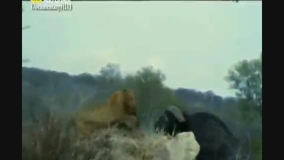 شکار شیر توسط گاو های وحشی