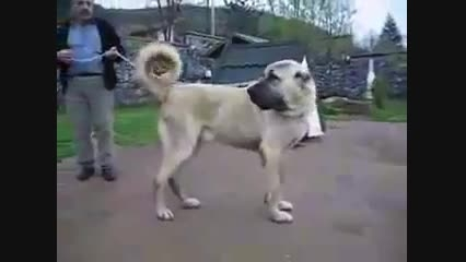 سگ كانگال كوردی vs سگ سرابی