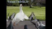 رقص اردک و پرنده ها آخر طبیعت خنده دار!!!!