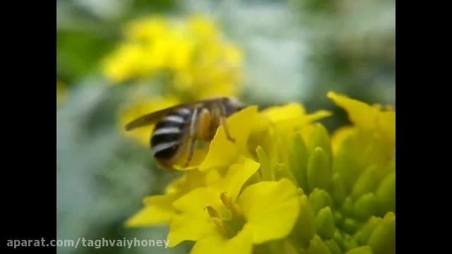 گرده جمع كردن زنبور عسل