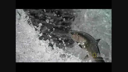 پرواز بدون بال ماهی سالمون