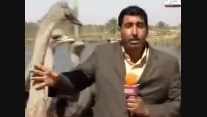 دردسر گزارش از مزرعه شتر مرغ