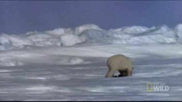 خرس قطبی سلطان مطلق(خرس ها فوق العاده ان)