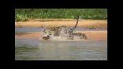 صحنه حیرت انگیز شکار کروکودیل توسط پلنگ