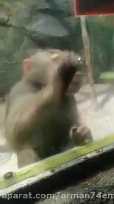 آقا اذیت نکن میمون بیچاره رو