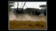 حمله شیر به یوزپلنگ و کشته شدن یوزپلنگ توسط شیر