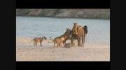 زنده ماندن فیل جوان از حمله 14 شیر