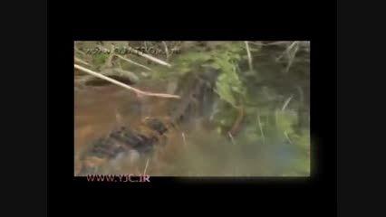 بلعیده شدن تمساح توسط مار بزرگ