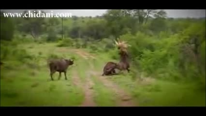 حمله گاو به شیر برای کمک به گاو زخمی