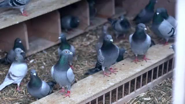کبوتر مسابقه Marcel Sangers