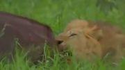 خوردن بوفالوی زنده توسط شیر