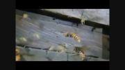 جنگ واقعی میان 30 زنبور غول پیکر و بیش از 30،000 زنبور