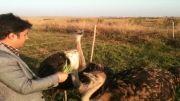 مزرعه پرورش شترمرغ داش ماکو