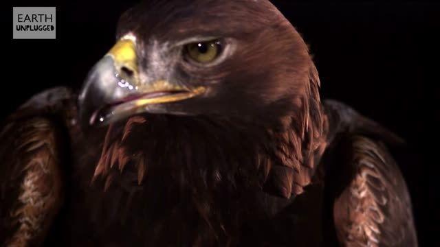 اسلوموشن پرواز عقاب طلایی