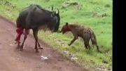 شکار بیرحمانه گاو وحشی توسط ۲ کفتار