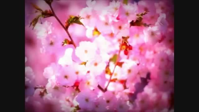 ساکورا به معنای شکوفه یا درخت گیلاس