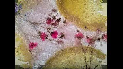 عکس هایی از گل های یخ زده (تقدیمی )