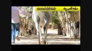 اسب عرب مصری بسیار زیبا (حتما ببینید و از دست ندهید)